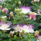 Italian Caper Bush Capparis spinosa - 20 Seeds