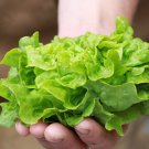Organic Heirloom Miniature Personal Wheeler Butter Lettuce Tom Thumb Lactuca sativa - 250 Seeds