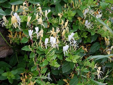 Herb Japanese Tea Honeysuckle Lonicera japonica - 30 Seeds
