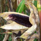 Rare Organic OP Popping Corn Dakota Black Zea mays - 50 Seeds