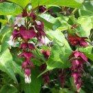 Rare Himalayan Honeysuckle Leycesteria formosa - 20 Seeds