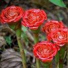 Torch Ginger Rare Rose of Siam Etlingera corneri - 10 Seeds