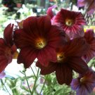 Chocolate Royale Salpiglossis sinuata - 20 Seeds