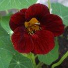 Nasturtium Black Velvet Tropaeolum minus - 10 Seeds