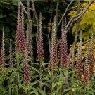 Brown Flower Foxglove Milk Chocolate Digitalis parviflora - 30 Seeds