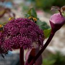 Purple Korean Angelica Angelica gigas - 10 Seeds