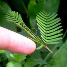 Novelty Sensitive Plant Shy or Shame Plant Mimosa Pudica - 25 Seed
