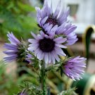 South African Lavender Zulu Warrior Berkheya purpurea - 10 Seeds