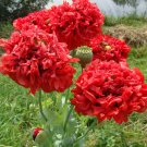Scarlet Red Peony Poppy Papaver Paeoniflorum - 100 Seeds