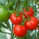 Organic Heirloom Tomato Moneymaker Lycopersicon lycopersicum - 25 Seeds