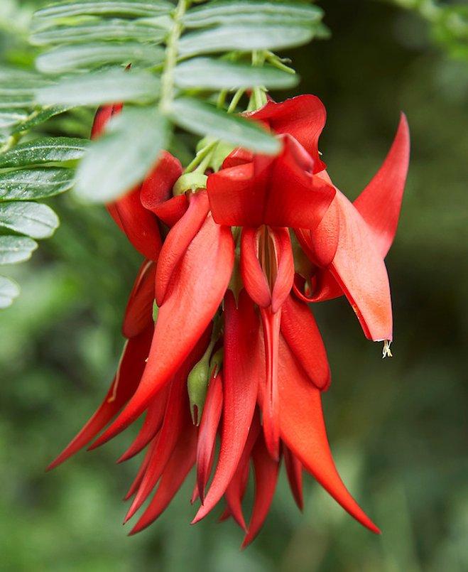 Rare Red Lobster Claw Kaka Beak Clianthus puniceus Rosea - 5 Seeds