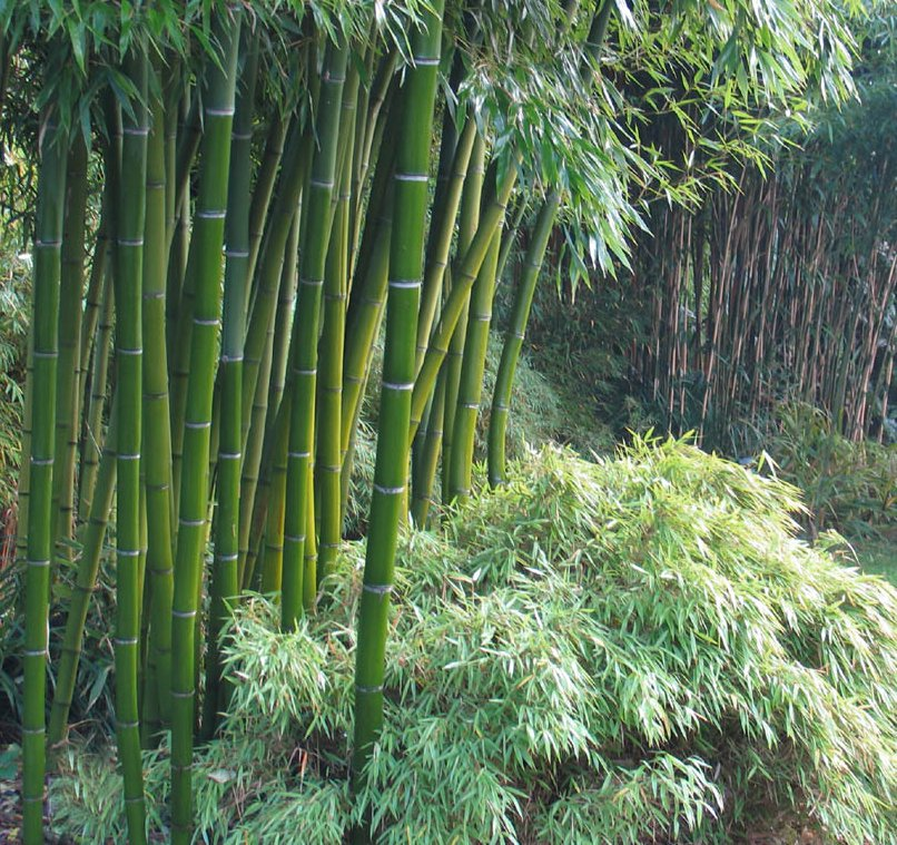 Exotic giant moso bamboo phyllostachys pubescens 10 seeds for Moso bamboo prezzi