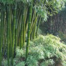 Exotic Giant Moso Bamboo Phyllostachys Pubescens - 10 Seeds