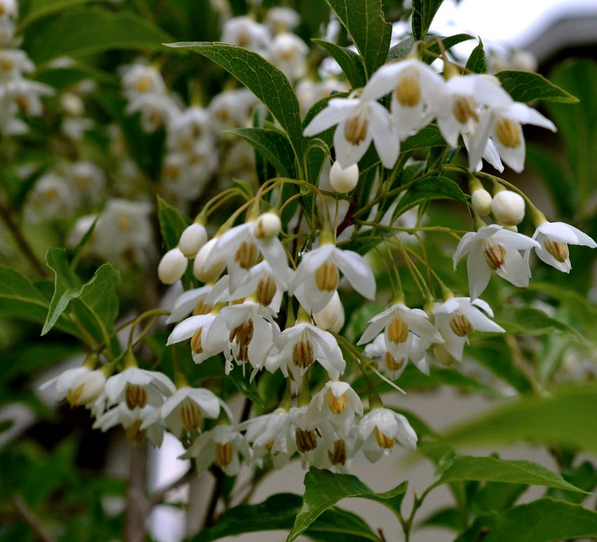 Japanese Snowbell Styrax japonicus White - 20 Seeds