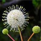 Sputnik Honey Ball White Button Bush Cephalanthus occidentalis - 100 Seeds