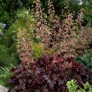 Chocolate Dark Coral Bells Heuchera micrantha var. diversifolia - 100 Seeds