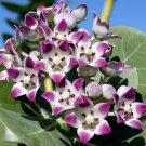 Milkweed Tree Asclepias Calotropis procera - 10 Seeds