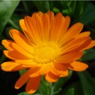 Edible Flowers Organic Orange Calendula Herb Calendula officinalis - 75 Seeds