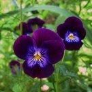 Edible Flowers Organic Violet King Henry Viola Cornuta - 30 Seeds