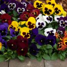 Edible Flowers Organic Pansy Swiss Giant Viola x Wittrockiana - 50 Seeds
