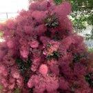 Purple Smoke Bush Cotinus Coggygria v Purpureus - 10 Seeds