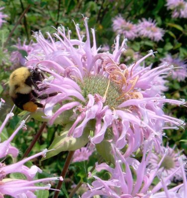 Wild Bergamot  Bee Balm Monarda fistulosa - 100 Seeds