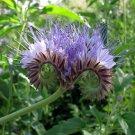 Unusual Purple Fiddleneck Phacelia tanacetifolia  - 250 Seeds