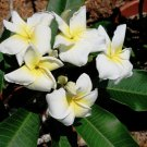 Plumeria White 'Pupukea Crepe' Frangipani - 5 Seeds