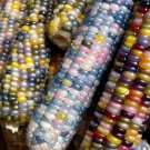 Organic True Native Heirloom Cherokee Indian Carl's Glass Gem Corn - 100 Seeds