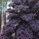 Scottish Purple Kale Redbor Brassica oleracea var. acephala - 20 Seeds