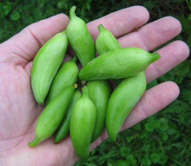 Rare Heirloom Wild Caigua Achocha Cyclanthera pedata - 10 Seeds