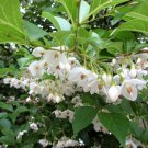 White Japanese Snowbell Styrax japonicus - 20 Seeds