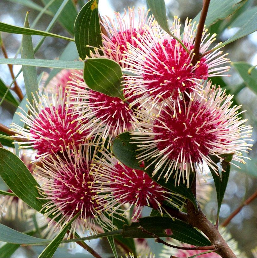 Rare Emu Bush Pincushion Hakea Laurina - 5 Seeds