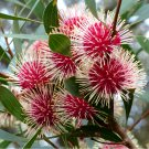 Rare Emu Bush Pincushion Hakea Laurina - 5 Seeds