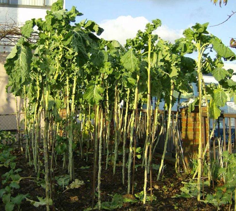 Rare Giant Walking Stick Jersey Kale Brassica oleracea longata - 20 Seeds