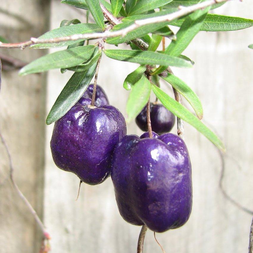 Rare Wild Tasmanian Purple Apple Berry Billardiera longiflora - 10 Seeds