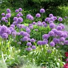 Ornamental Onion 'Purple Sensation' Allium aflatunense - 50 Seeds