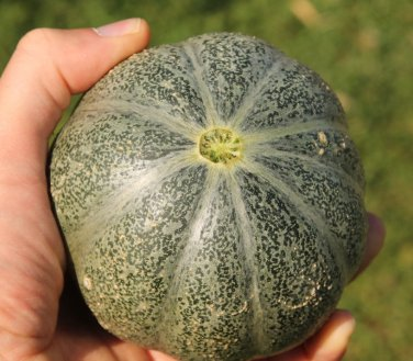 Rare Small Heirloom True French Petit Gris de Rennes Gourmet Melon Cucumis Melo - 20 Seeds