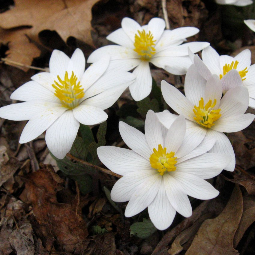 Hardy White Bloodroot Sanguinaria canadensis - 20 Seeds