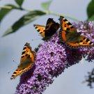 Buddleia Butterfly Bush Buddleja davidii - 100 Seeds