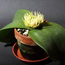 Hedgehog Lily Massonia depressa - 8 Seeds