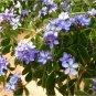 Rare Guaifenisen Lignum Vitae Guaiacum Officinale - 8 Seeds