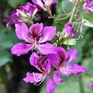Exotic Butterfly Tree Purple Orchid Bauhinia purpurea - 10 Seeds