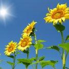 Organic Giant Skyscraper Sunflowers  - 25 Seeds