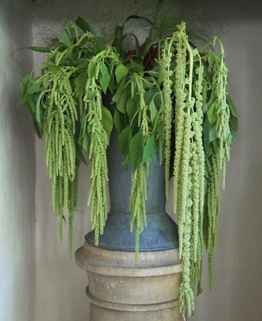 Green Love Lies Bleeding Amaranth Amaranthus caudatus Viridis- 200 Seeds