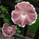 Japanese Morning Glory 'Chocolate Beauty' Ipomoea nil - 8 Seeds
