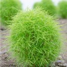 Color Changing Firebush Bassia Kochia scoparia - 100 Seeds