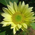 Rare Chartreuse Sunflower 'Jade' Helianthus Annuus- 15 Seeds