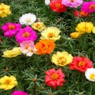 Fairy Garden Portulaca Moss Rose Portulaca grandiflora - 50 Seeds