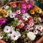 Fairy Garden Ice Plant Succulent Mesembryanthemum criniflorum - 50 Seeds